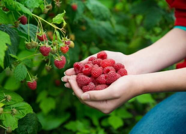 9 простых секретов для богатого урожая малины