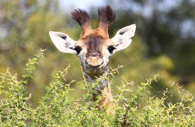 Для чего жирафу длинная шея?