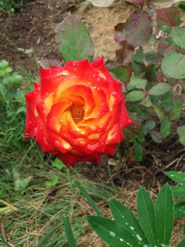 Фото дня: королева цветов на Амундсена