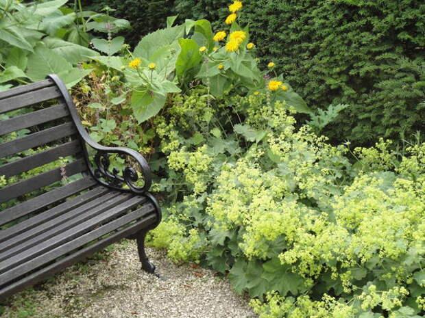 Манжетка растение для переднего плана цветников. Фото автора