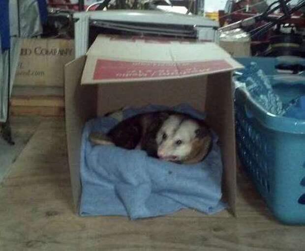 опоссум в коробке
