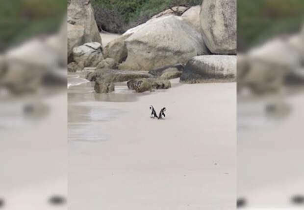 Два пингвина держатся ″за ручки″ и мило гуляют по пляжу. Совсем как люди!