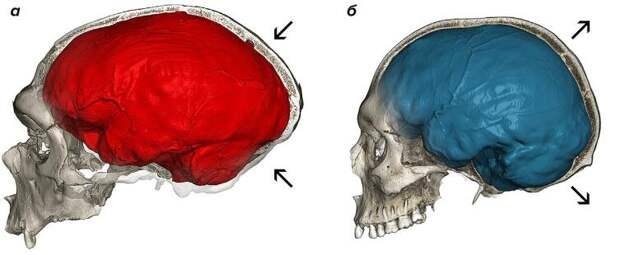 Компьютерные томограммы черепов неандертальца и современного человека. а — Череп неандертальца из La Chapelle-aux-Saints с типичным удлиненным эндокраниальным отпечатком (красный). б — Череп современного человека с характерным глобулярным эндокраном (синий). Стрелки указывают на увеличенную заднюю черепную ямку (вместилище мозжечка) и на выпуклость теменных костей у современных людей по сравнению с неандертальцами.