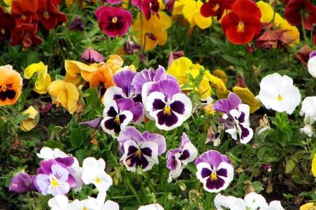 Виола - растение для дачника выходного дня