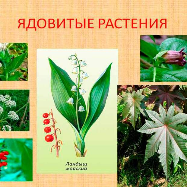 Ядовитые лекарственные растения