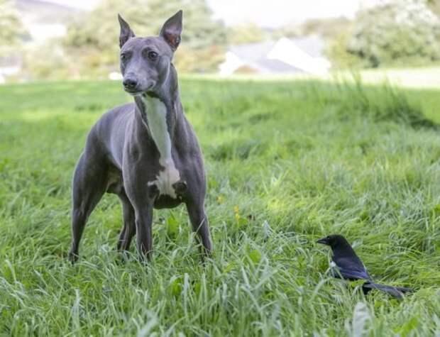 Собака подружилась с сорокой, история друзей два, друга, друзей, история, подружилась, с сорокой, собака
