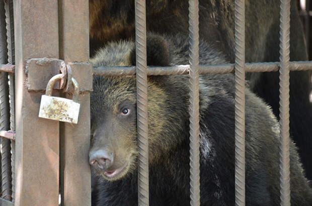 Медведь из херсонского зоопарка.
