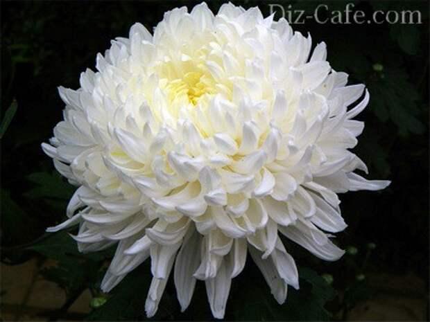 Хризантема – королева бала