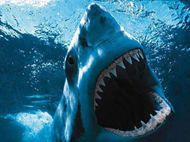 Фото. Белая акула