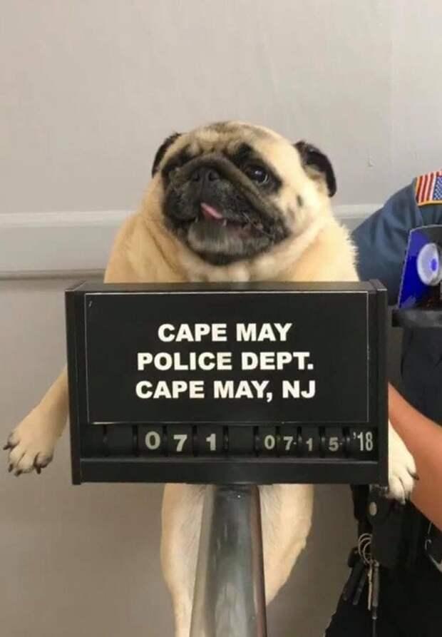 Позже Клементина-Блестяшка была доставлена в полицейский участок, чтобы установить её личность арест, в мире, животные, милота, мопс, полиция, прикол