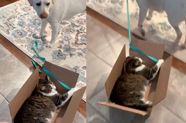 Заботливый пес прокатил кота в коробке и стал кумиром соцсетей