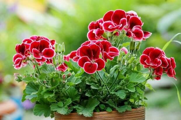 Источник изображения https://flowertimes.ru/geran/