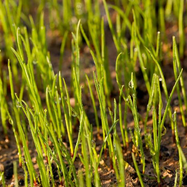Глянцевая европейская лужайка: правила ухода за газоном