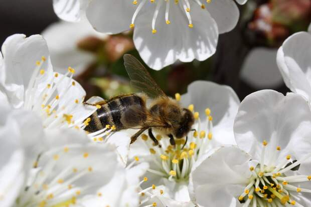Пчела на цветке вишни