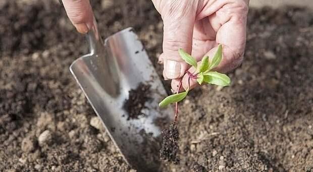 Ценные советы при выращивании свеклы