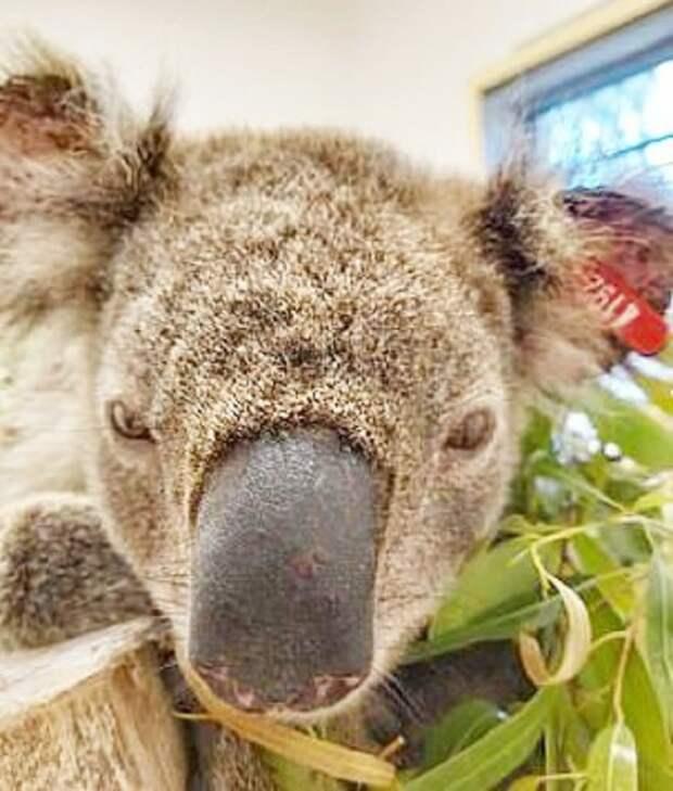 Сонная коала