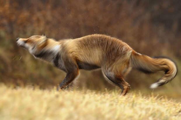 Непредсказуемые дикие лисы в фотографиях Розелин Реймонд-3-2