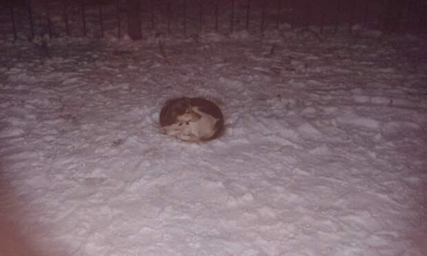 Дворняжка падала от голода в снег и лежала так часами. Ее пристрелили бы, не вмешайся в историю волонтеры