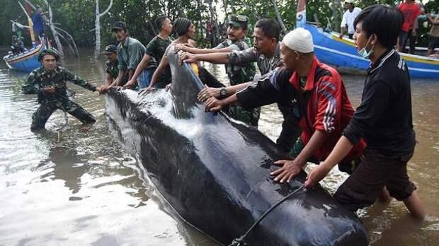 В  Индонезии на берег выбросились киты-пилоты