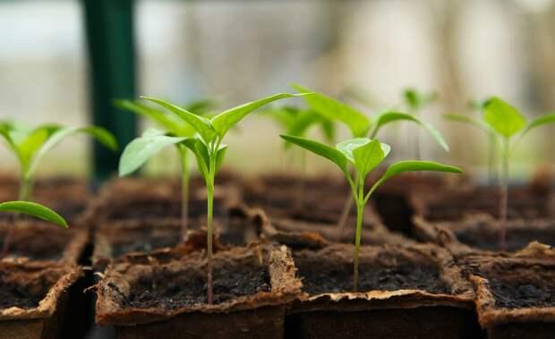 Саженец, Садоводство, Парниковых, Чили, Растительный