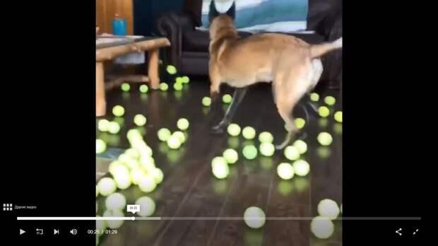 Чтобы любимый пёсик был счастлив, хозяева купили ему 398 теннисных мячей