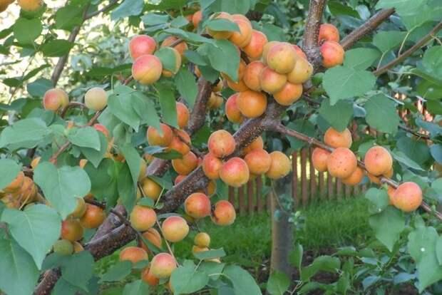 Вот как вырастить сладкие абрикосы в средней полосе