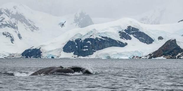 Антарктика: фото горбатого кита