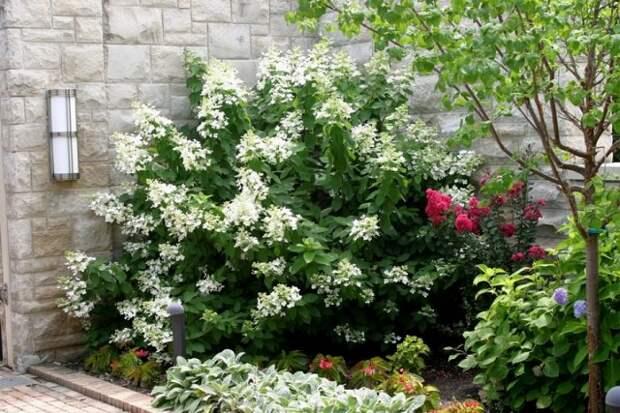 Растения для маленького сада гортензия