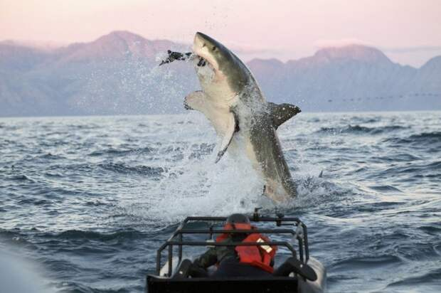 7 - Колосс акула, животные, людоед, океан