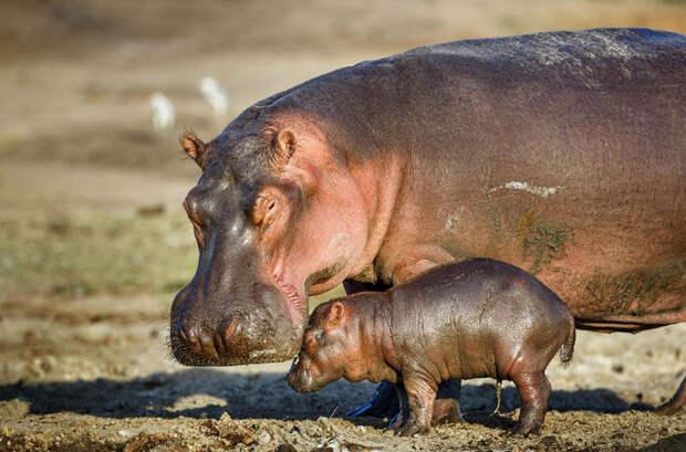 А вы знали, почему у зебр и бегемотов розовое молоко?