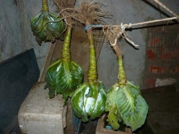 Подвесное хранение капусты