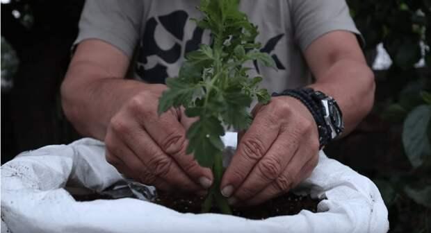 Скрещиваем картофель и томат и получаем двойной урожай