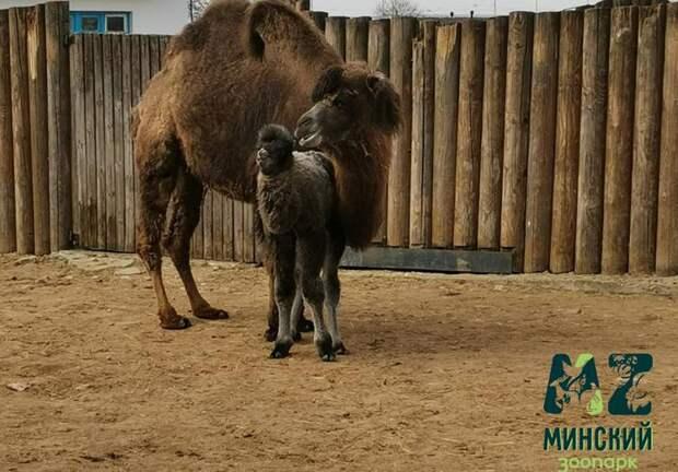 ВМинском зоопарке впервые родился верблюжонок