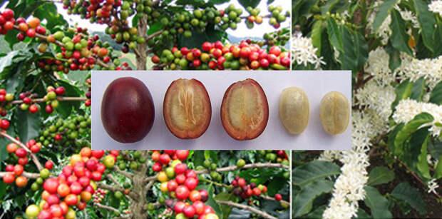 Плоды кофе фото