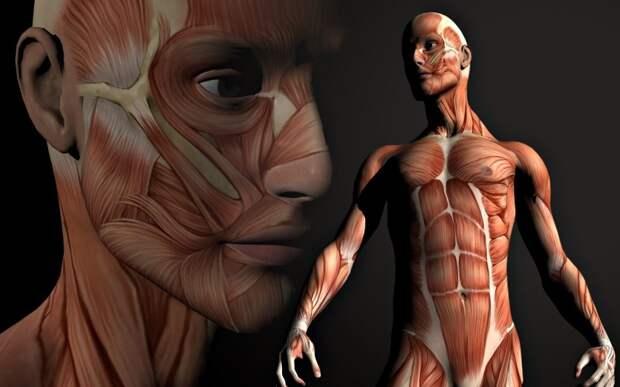 С какой скоростью обновляется тело человека