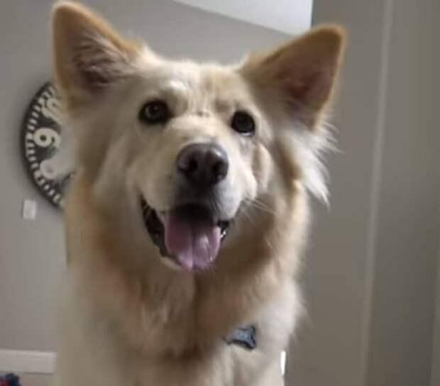 Собака с языком