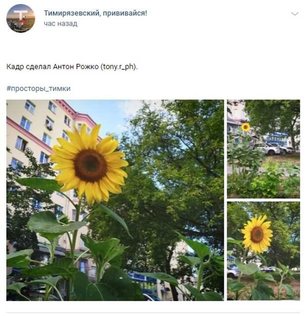 Фото дня: подсолнух вырос во дворе в Тимирязевском