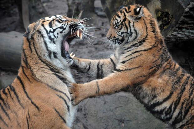 Суматранские тигрята в зоопарке в Йиглаве