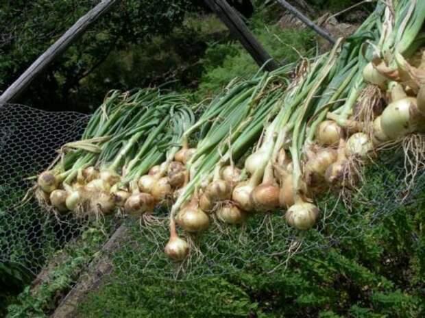 Как правильно садить озимый лук, чтобы он дал отличный урожай по весне