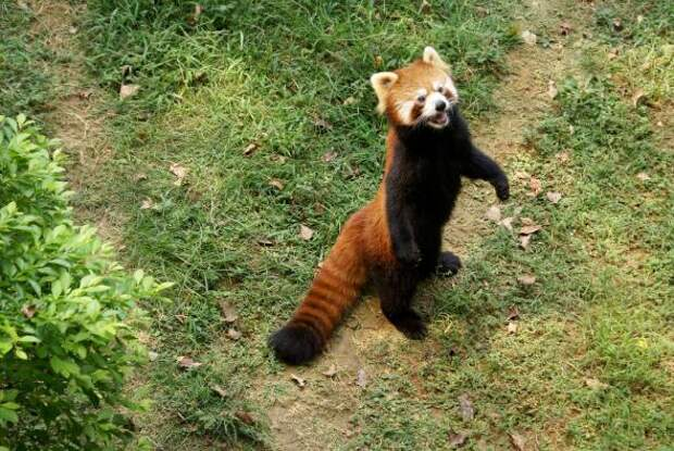 необычные животные огненная панда