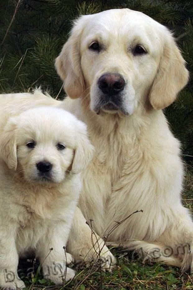 Золотистый ретривер, или Голден ретривер  служебная порода собак, породы собак с фотографиями