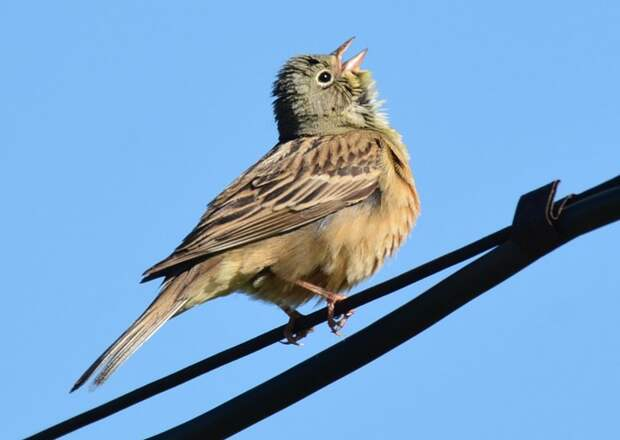 picture_of_the_day_ortolan_2_703
