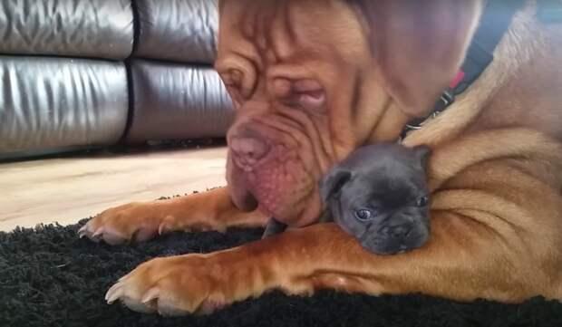 Взрослый и серьезный пес в восторге от крошечного щенка
