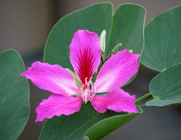 У баухинии интересны не только цветки, но и листья, которые по форме напоминают бабочек