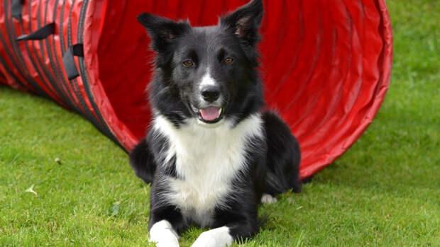 Бордер-колли — активная и красивая собака