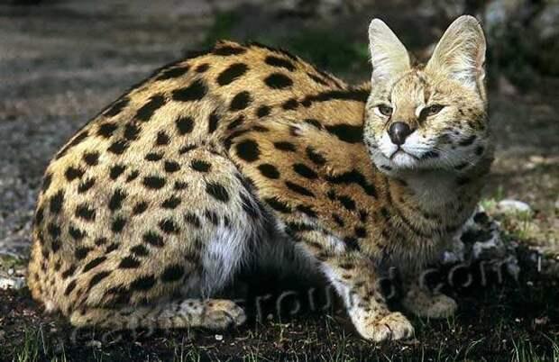Сервал (кустарниковая кошка) семейство кошачьих