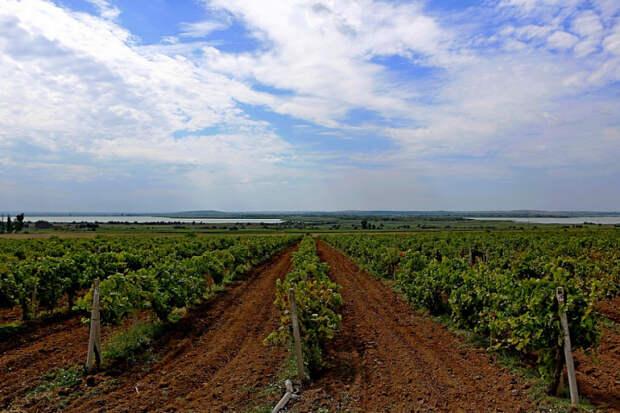 На Кубани начали убирать виноград