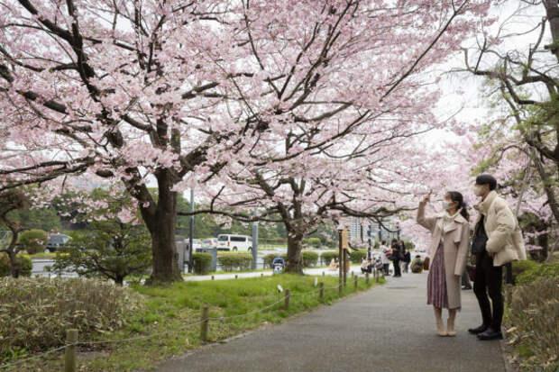 В этом году сезон цветения сакуры в Японии начался...
