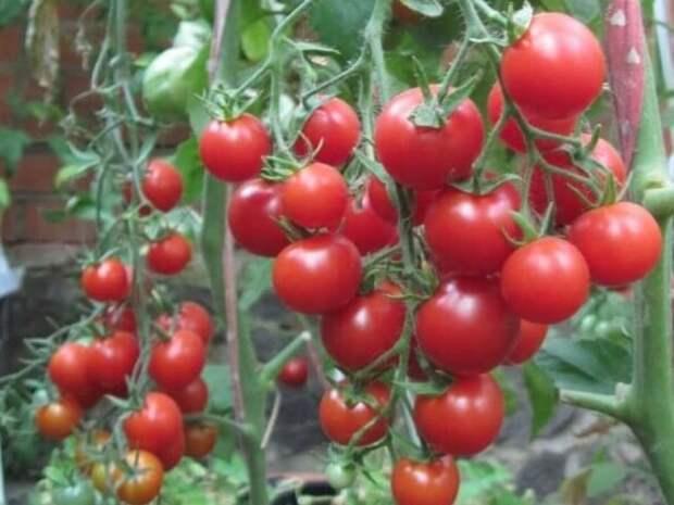 60 томатов с одного куста - Это реально!