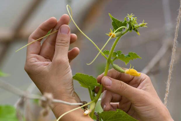 В условиях домашнего выращивания формировать огурец нужно в 1 стебель, боковые побеги и усы - прищипывать